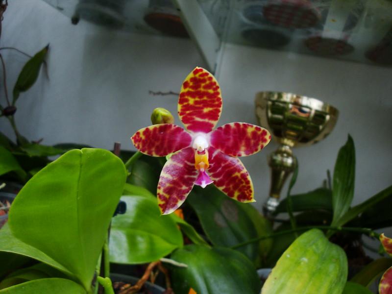 Phalaenopsis Alambra (amboinensis var. flavida x pulchra) 10016386006_0c6a6cbd6c_c