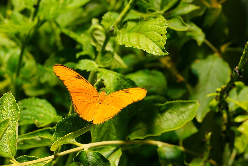美洲蛺蝶 Dryas iulia-2