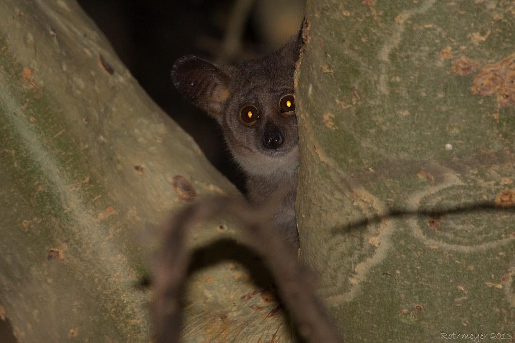 Bushbaby (Galago senegalensis)