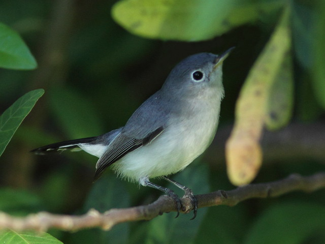 Blue-gray Gnatcatcher edited 2-20131010