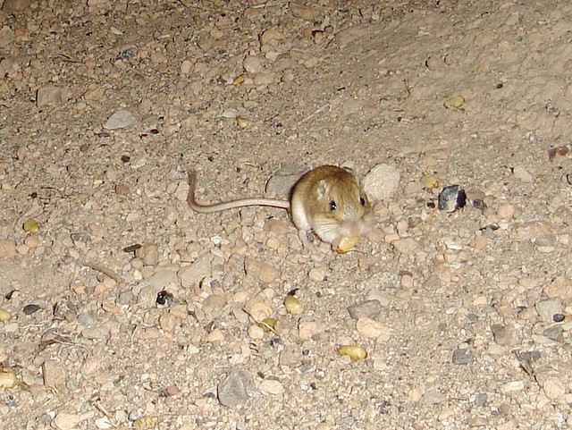 great basin pocketmouse