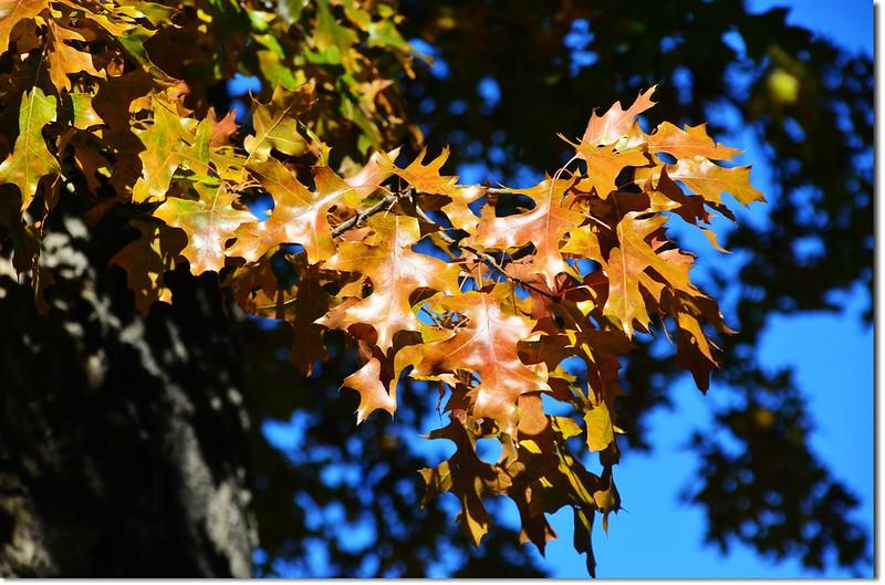 Oak(橡、櫟) in Fall, Chautauqua, Boulder 14