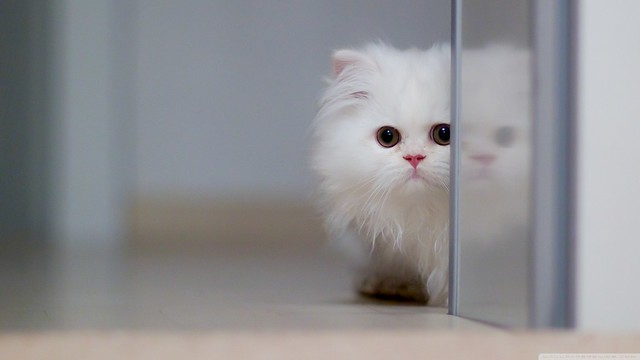 Cute White Cat Wallpaper