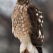 A Young Sharp-shinned Hawk (Accipiter striatus) by Sharon's Bird Photos