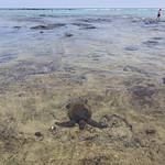 Turtle, Kahalu'u Beach Park