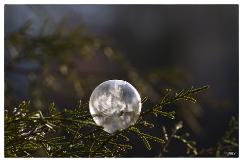 Ice Bubble on Cedar