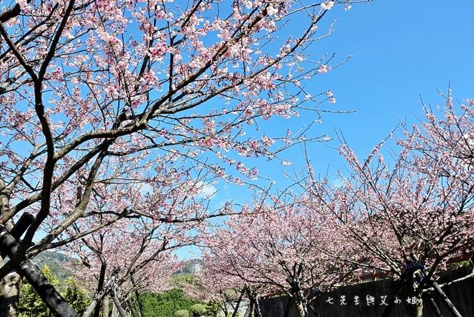 13 平菁街42巷櫻花