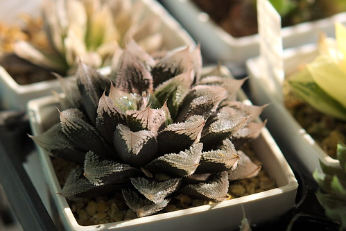Haworthia hyb. 'Hakuteijo' by mimoberry