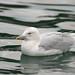 Gaivota hiperbórea (Gaivotão branco) - Larus hyperboreus - Glaucous Gull