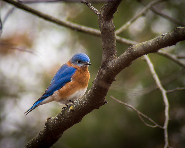 Bluebird, Eastern Bluebird, Tree, Bird
