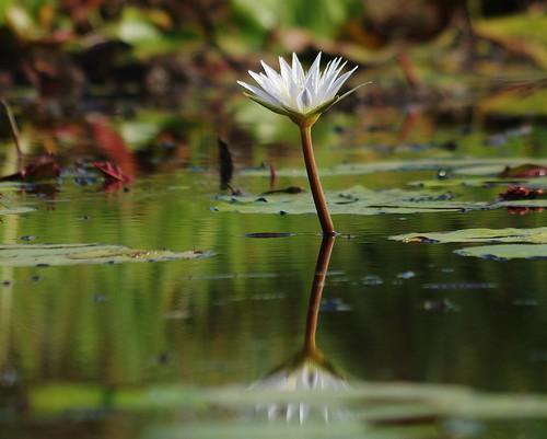 ngc waterlilies npc moremigamereserve okavangodelta eyelevel xigeracamp botswana2013
