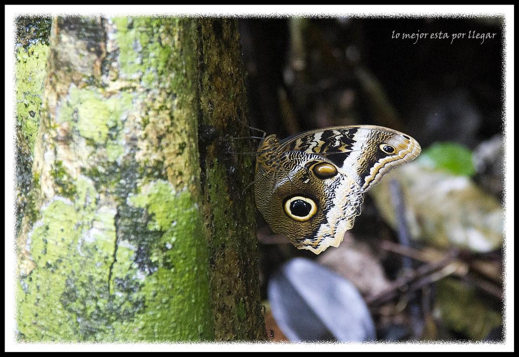 Mariposa Buho,Visita A La Reserva Gandoca-Manzanillo