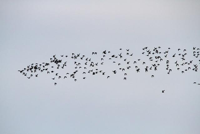 Golden Plover, Ilkley Moor