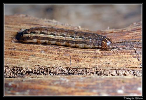 Xestia xanthographa caterpillar