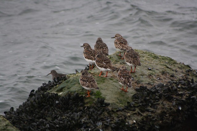 Ruddy Turnstones and Purple Sandpiper - Delaware - IMG_8253