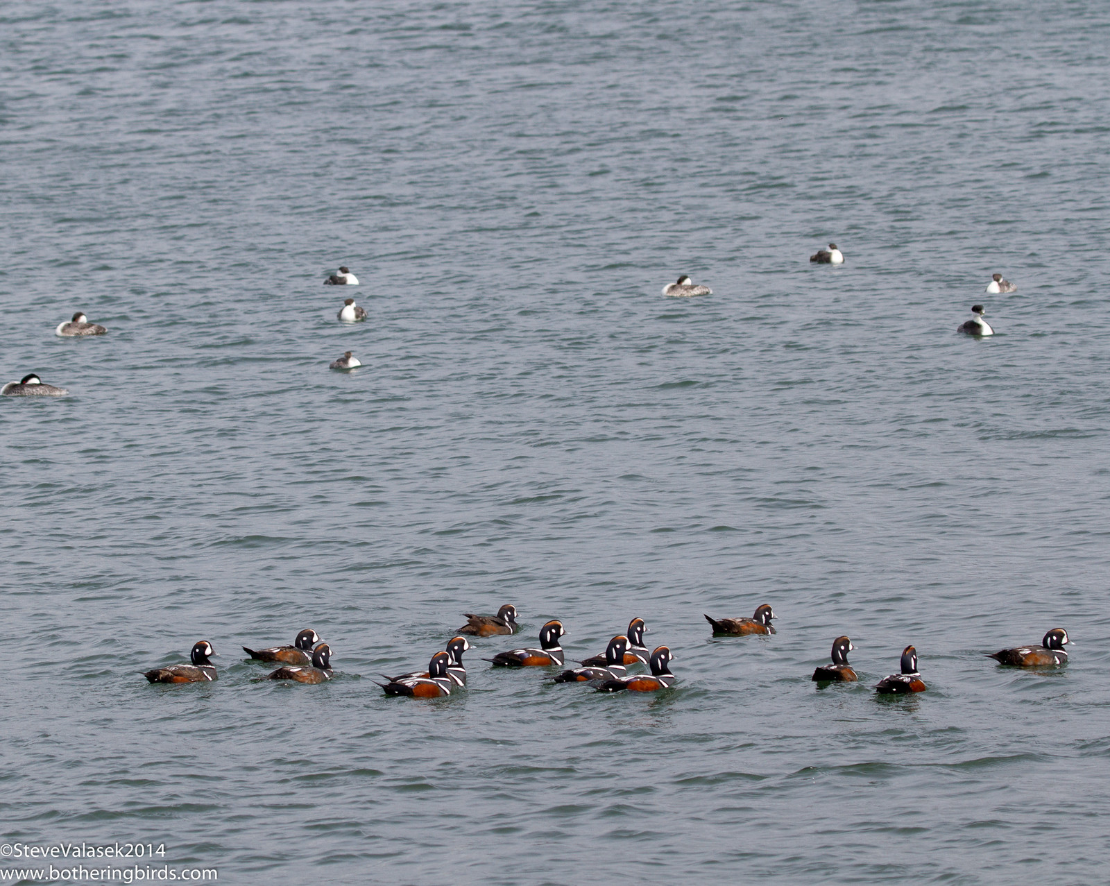 Western Grebes and Harlequin Ducks