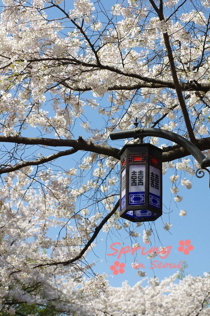 春. 櫻. 首爾