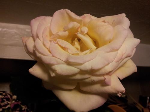 West End Rose