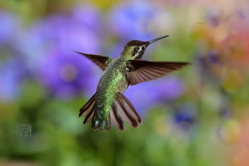 Anna's Hummingbird 300514