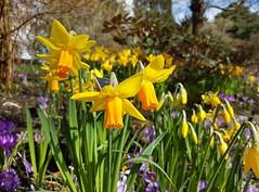 Golden daffodils at Birmingham Botanical Gardens.