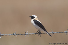 Chasco-ruivo / Black-eared Wheatear (Oenanthe hispanica)