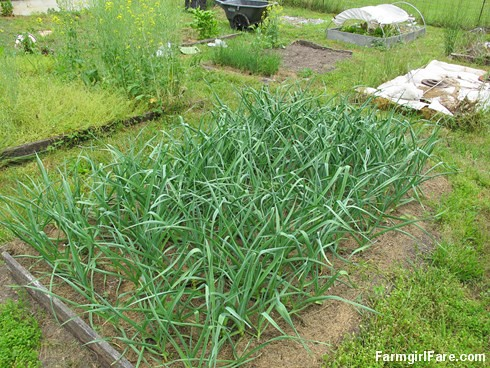 (28-28) The late March planted garlic is looking great - FarmgirlFare.com