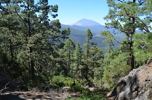 Tenerife pine forest