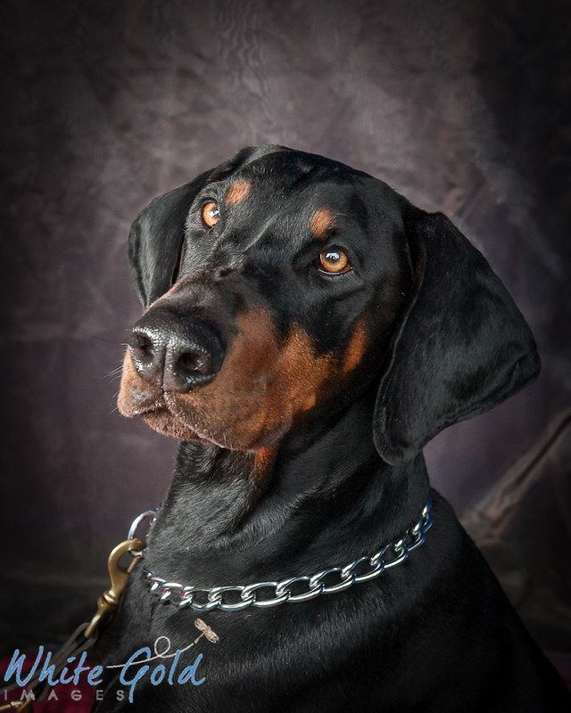 dog portrait, photography