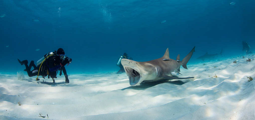 2013 Bahamas 46 436 Tiger Beach Lemon shark