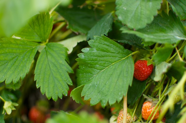 hidden strawberries