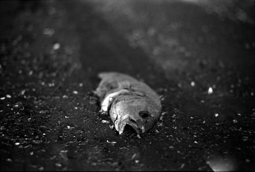Dead Fish Study