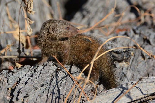Flickr  The Mongooses ...