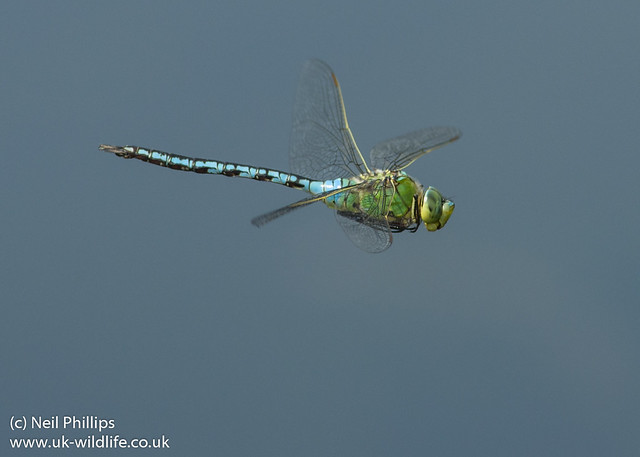emperor dragonfly in flight Anax imperator-3