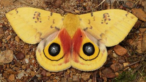 insect moth northcarolina lepidoptera fieldtrip coastalplain saturniidae iomoth automerisio automeris hemileucinae canonefs60mmf28macrousm medocmountain nationalmothweek medoc20130710