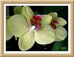 Orquídea....P1100876EF