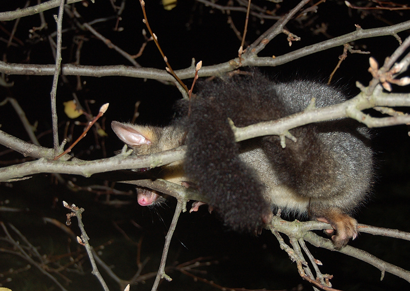 possums_12