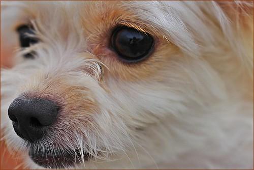 Zoom (Chihuahua)