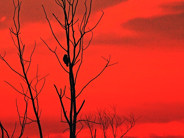 Owl at sunset 20130906
