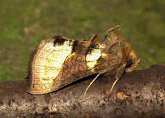 2434 Burnished Brass - Diachrysia chrysitis