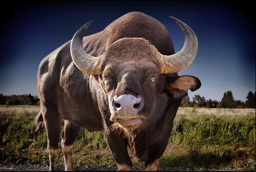 www.animal-photos.org/keywords/bull