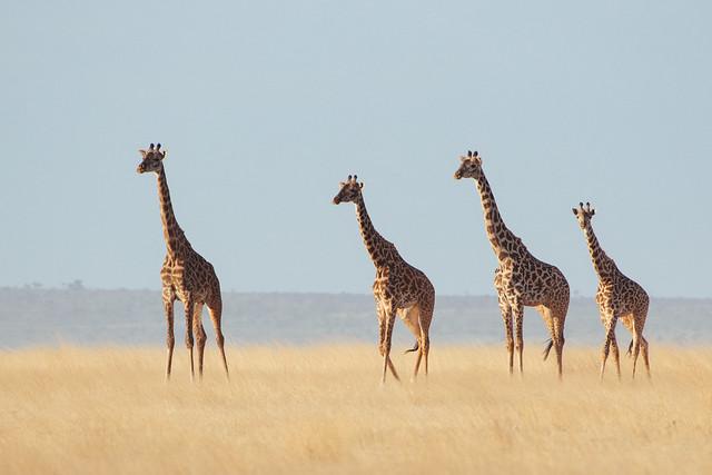 Jirafas en el Parque Nacional de Amboseli, Kenia