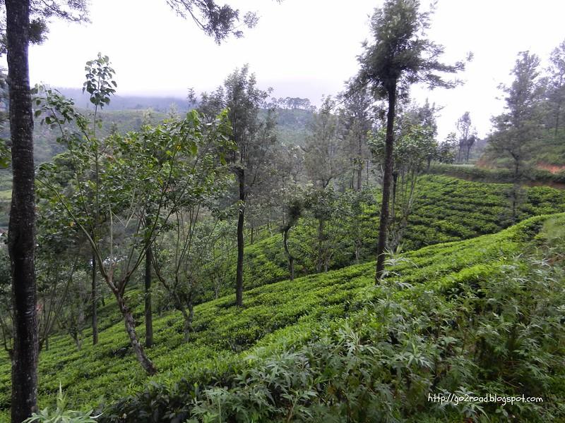 На склонах растет чай