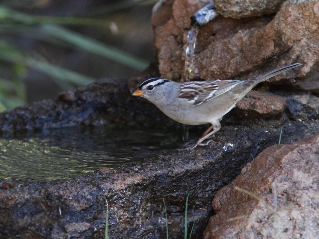 White-crowned Sparrow 2-20131102