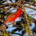 Northern Cardinal by bananaman33428