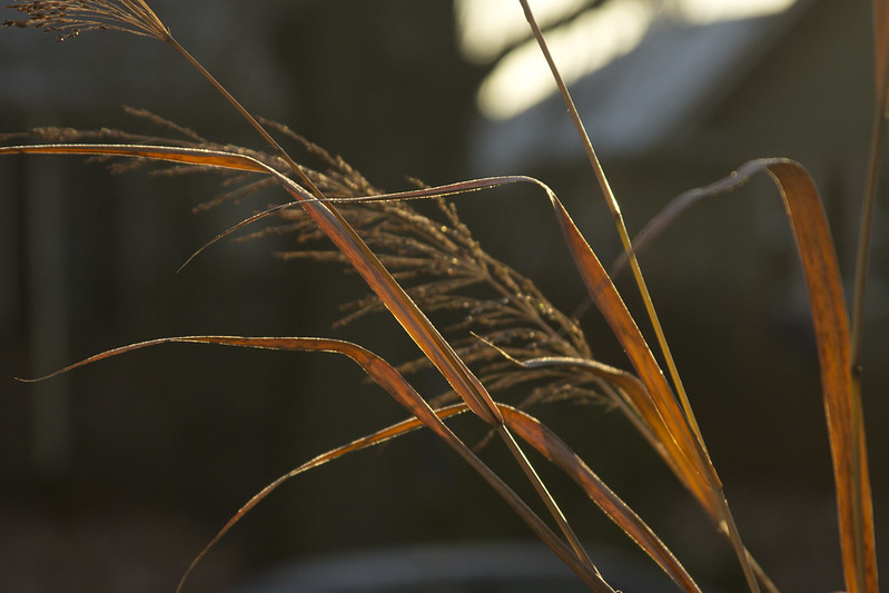Panicum Dallas Blues Frost