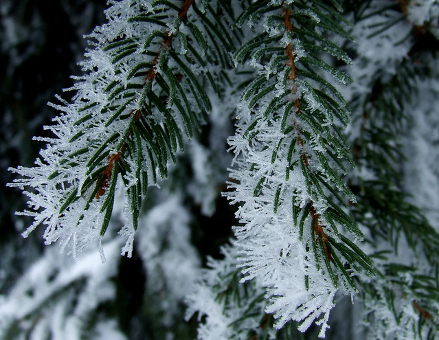 ice-fogged Norway spruce