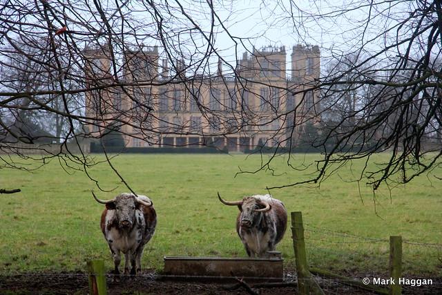 Cows at Hardwick Hall