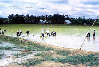 Dinh Tuong 1972 - Rice paddies - planting