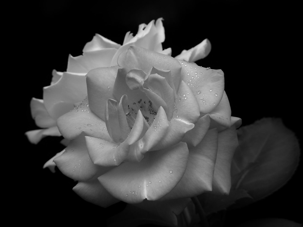 221e90092 Portrait of Two Roses in Black and White | Two fully bloomed… | Flickr