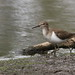 Small photo of Common Sandpiper, Actitis hypoleucos
